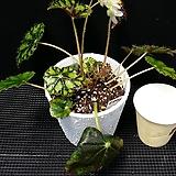 아이래쉬(베고니아) Begonia