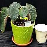 토멘토사(베고니아) Begonia
