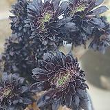 흑법사철화,2019,06/10 Aeonium arboreum var. atropurpureum