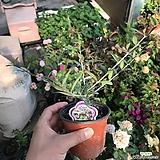 올리브나무(공기정화식물)|