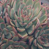 황홀한연꽃군생,2019,06/12 Echeveria pulidonis