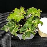 샤머스(베고니아) Begonia