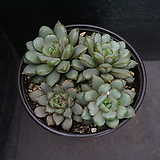 홍포도(중대) 92|Graptoveria Ametum