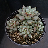 홍포도(중대) 98|Graptoveria Ametum