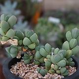 벽어연(06월)_63 Corpuscularia lehmanni