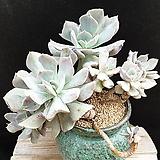핑크라우톱(자연군생)|Echeveria Exotic