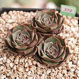 환엽롱기시마 J06-372|Echeveria longissima
