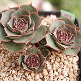환엽롱기시마 J06-373|Echeveria longissima