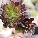 흑법사철화 J06-410|Aeonium arboreum var. atropurpureum