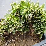 청법사철화|Aeonium arboreum