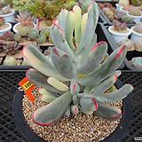 원종복랑금(원종방울복랑금)6-1692 Cotyledon orbiculata cv variegated