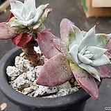 블러프레쳐스|Dudleya farinosa Bluff Lettuce