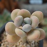 홍미인(06월)_72 Pachyphytum ovefeum cv. momobijin