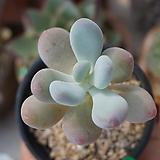 홍미인(06월)_75 Pachyphytum ovefeum cv. momobijin