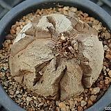 구갑룡_w123|Dioscorea elephantipes