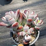 방울복랑317|Cotyledon orbiculata cv