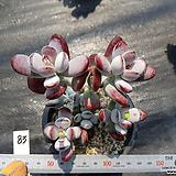 방울복랑83|Cotyledon orbiculata cv