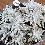 화이트그리니 9106-1932|Dudleya White gnoma(White greenii / White sprite)