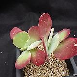 당인금|Kalanchoe thysifolia