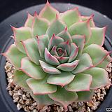 핑크팁스 6-697|Echeveria Pink Tips