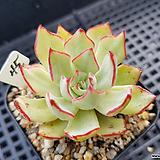 스트릭트플로라45|Echeveria strictiflora v nova