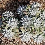 화이트그리니 9106-1978|Dudleya White gnoma(White greenii / White sprite)