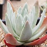 파키필라 9406-2047|Dudleya pauciflora