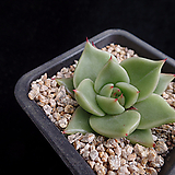 로즈힐921|Echeveria Rose Hill