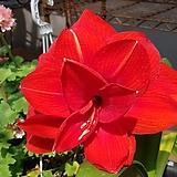 아마릴리스인퍼노(겹꽃) 