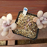 아메치스 0620|Graptopetalum amethystinum