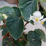 토멘토사(화분포함)베고니아 Begonia