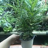 점박이크로톤(공기정화식물)|Codiaeum Variegatum Blume Var Hookerianum