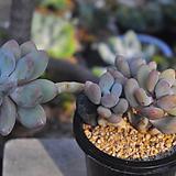 홍미인(O037) Pachyphytum ovefeum cv. momobijin