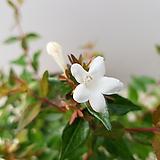 꽃댕강나무(흰꽃)|