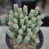 희성금(O049) Crassula Rupestris variegata
