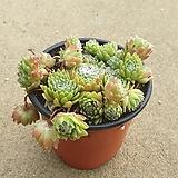 거미줄바위솔|Sempervivum arachnoideum tomentosum