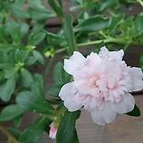 포체리카겹꽃채송화 