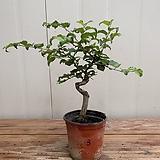 소사나무 #3|