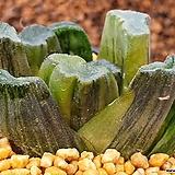 대창 삼색만상금|Haworthia maughanii variegated