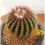 황채옥선인장(Ferocactus schwarzii G.E. Lindsay)|