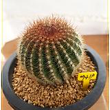 황채옥선인장(Ferocactus schwarzii G.E. Lindsay)|Haworthia truncata