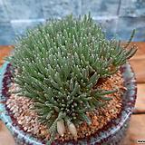알스토니백화대품|Avonia quinaria ssp Alstonii