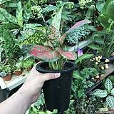 엔젤아글레오네마 (공기정화식물)|