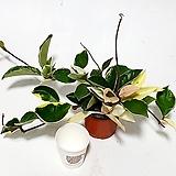 국민식물 호야 공기정화식물 실내식물 넝쿨식물 Hoya carnosa