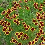 기생초(씨앗)|