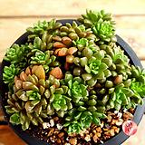 Cremnosedum Little Gem (Crassulaceae)