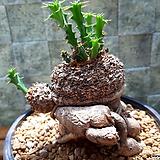 클라비게라(귀한 아프리카식물) 수형 특이|