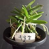 옥금강(대품)/난/풍란/나라아트/동양란/공기/꽃/향/취미/나라아트|