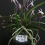 주천왕(특대)/풍란/난/동양란/서양란/식물/공기정화식물/나라아트|