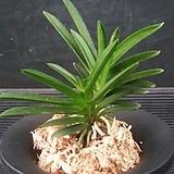 정지송/풍란/난/동양란/서양란/식물/공기정화식물/나라아트|